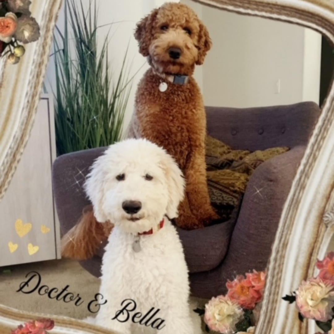 goldendoodle hypoallergenic dogs