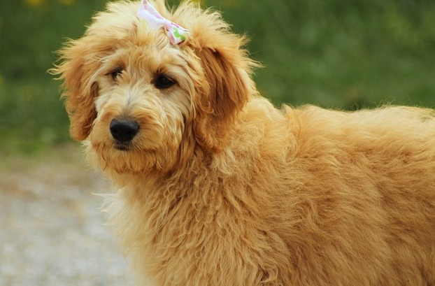 A Goldendoodle Christmas puppy